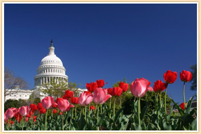 Spring tulips Blooming at the Capital Building in Washington DC